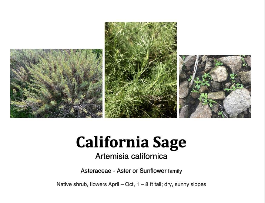 California sage flashcard.png
