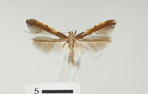 Caloptilia widespread.jpg