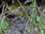Junco nest with blue eggs.jpg
