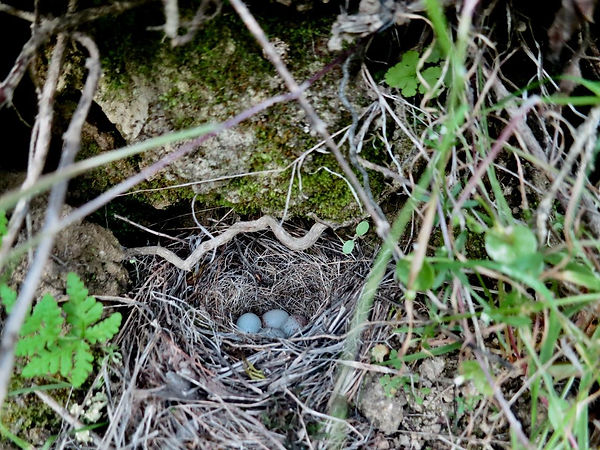 Junco nest with blue eggs.jpg