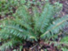 sword fern 2.jpeg