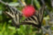 Pale swallowtail on CIrcium occidentais