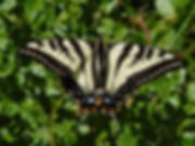 Pale Swallowtail (Papilio eurymedon).jpg