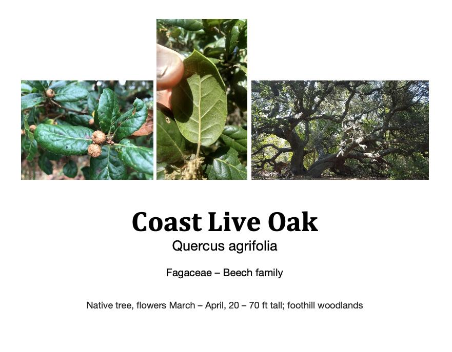 Coast live oak flashcard.png
