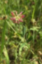 trifolium bifidumjpeg.jpeg