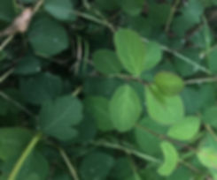 Symphoracarpus mollis.jpg
