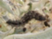 caterpillar on CIrcium occidentais venus