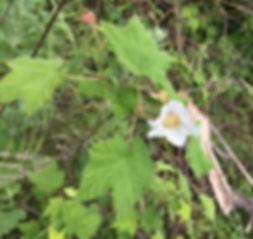 thimbleberry.jpeg