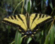 Western Tiger Swallowtail Papilio  rutul