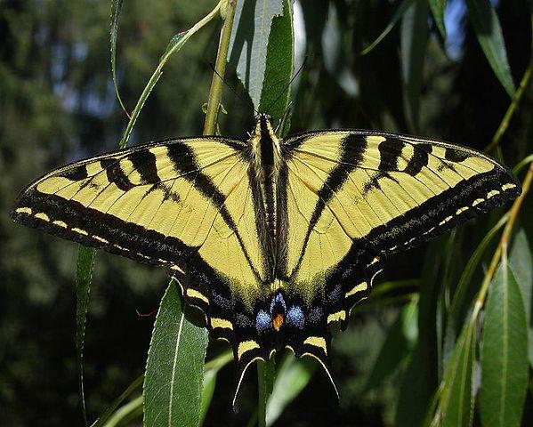 Western Tiger Swallowtail Papilio  rutul