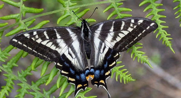 Pale Swallowtail inat.jpg