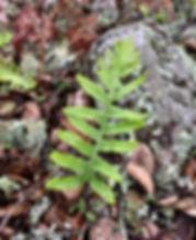 polypodium calirhiza.jpeg