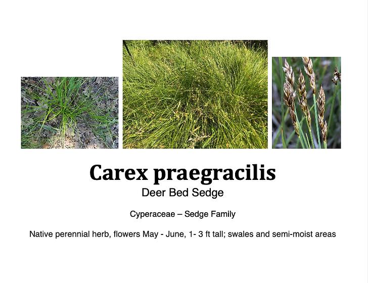 Carex praegracilis flashcard.png