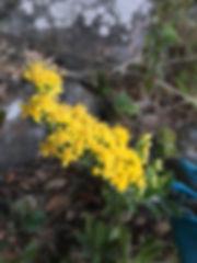 Solidato californica California goldenro