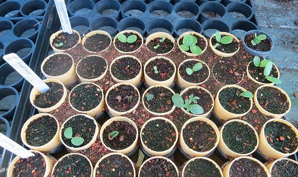 sept 19 lupine and thistle seedlings.jpg