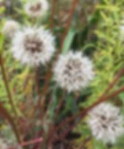 Agoseris grandiflora seedhead.jpeg