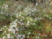 california aster near steam trains.jpg