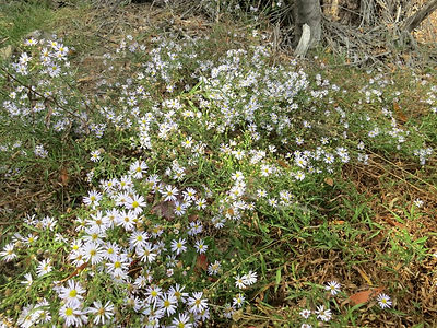 california aster near steam trains.jpg