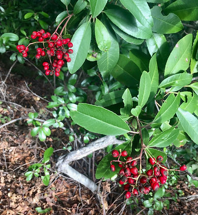 Heteromeles arbutifolia Toyon berries.jp