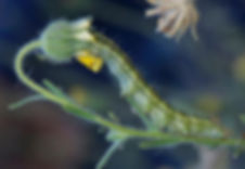 Coast tarweed bud with caterpillar.jpg