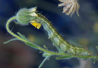 Coast tarweed bud with caterpillar.jpg