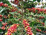 Coffea-Arabika.jpg