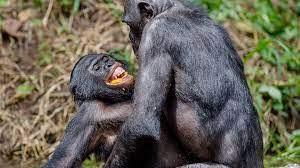 Sei ein Bonobo, weise auf dem 29. Pfad