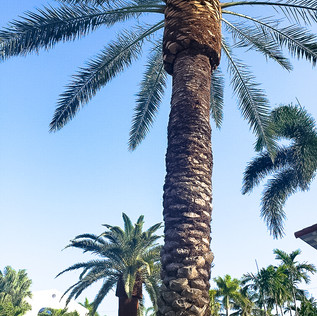 Canary Date Palm.jpg