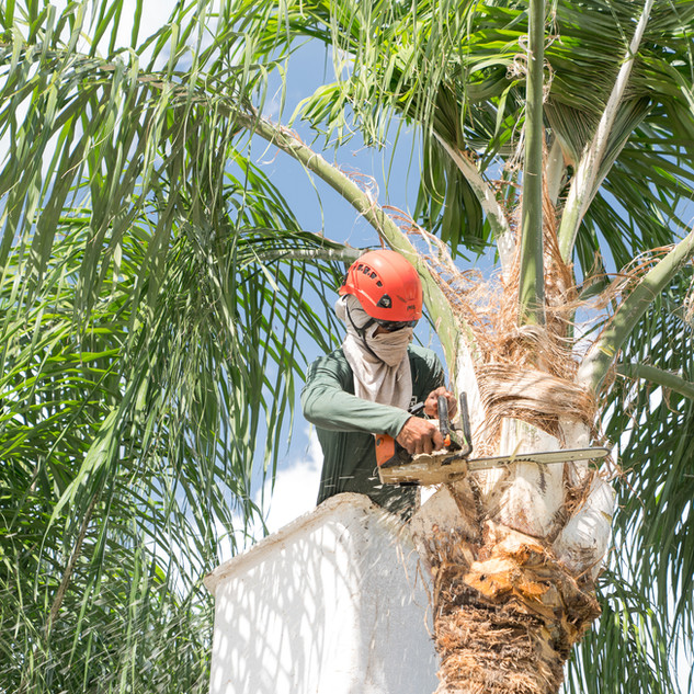 Palm Tree Trimming