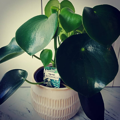 Peperomia - Potted Plant