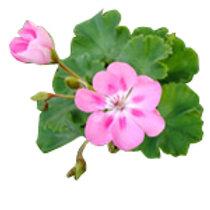Rose Geramium Essential oil