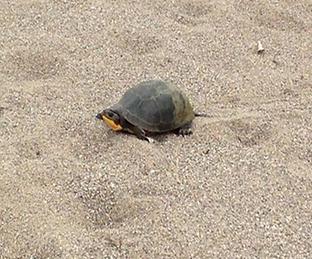 Find Endangered Blanding Turtles!