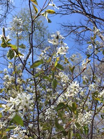 Find amazing stands of fragrant Serviceberry found on the North Judson Erie Trail.