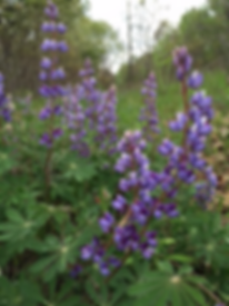 Visit the North judson erie Trail to see beautiful and fragrant Lupines.