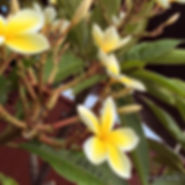 Hawaiian Plumeria by Julie Robbins Manley