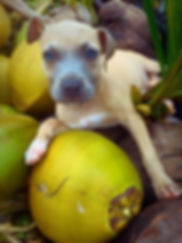 Hawaiian Puppy Dog and Coconuts by Julie Robbins Manley