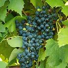 corot noir-grapevines.jpg