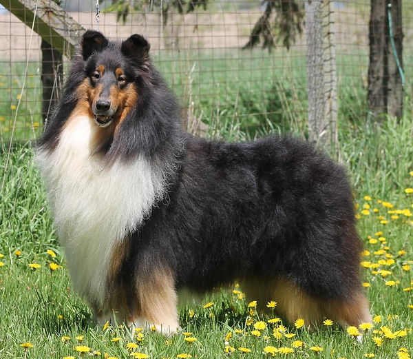 Danny Glasgowhll collies