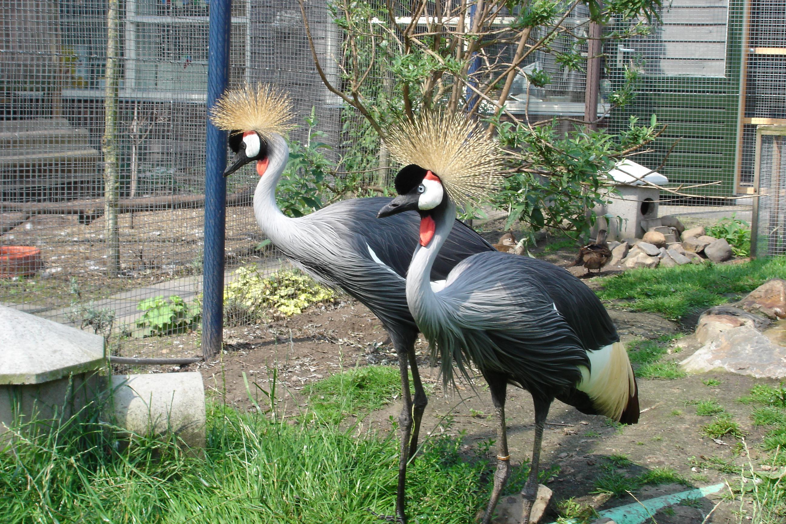 Grijze kroonkraanvogel