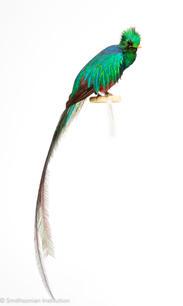 Quetzal © SI.jpg