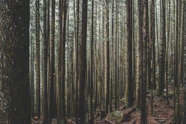 Evergreen Tress