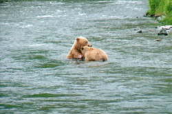 Russian RIver Brown Bears
