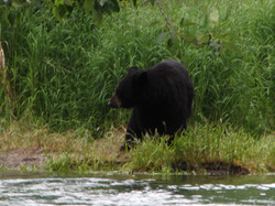 Russian RIver Black Bear