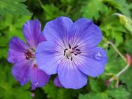 geranium-flowers.jpg