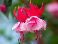 Fuchsia-Flowers-HD-Photos_bewerkt.jpg