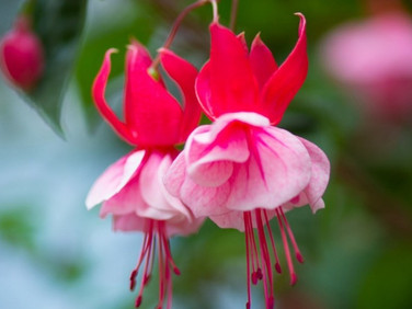 Fuchsia-Flowers-HD-Photos_bewerkt.jpg