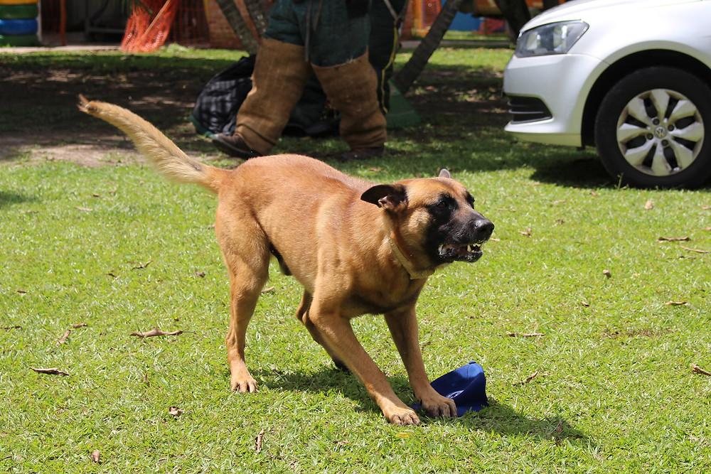O Cão Com mais treinamento do Brasil