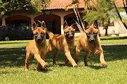 Canil K9 - Venda de cães