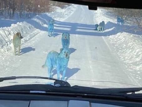 El misterioso caso de los perros... ¡Azules!