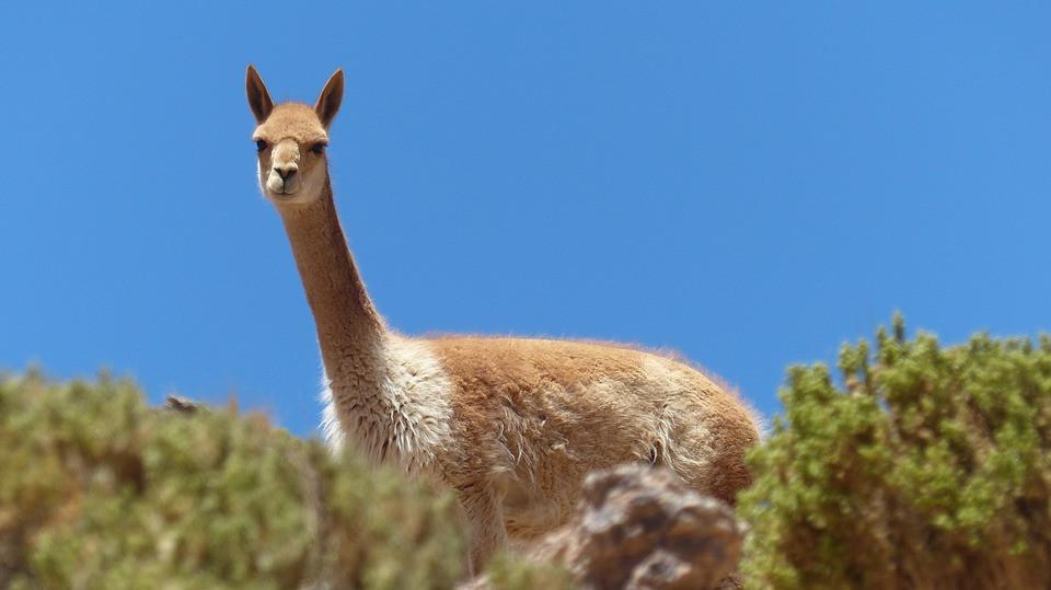 Bolivia, Altiplano, Vicuña, Lama, Alpaca, Cordillera